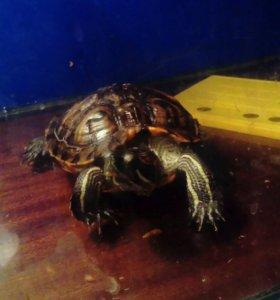 Черепахи красноухая и желтоухая