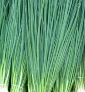 Зелёный лук (перо).Со своей грядки