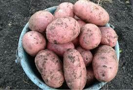 Картофель едовой