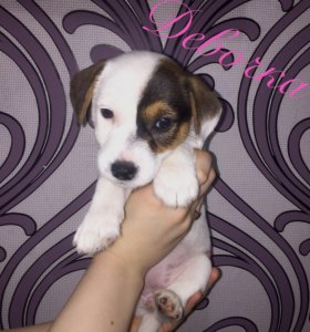 Родословный щенок