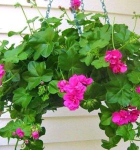 Цветы для окон, балконов, террас