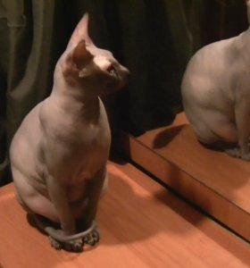 Донской сфинкс кот вязка