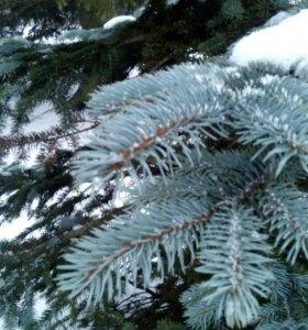 Семена голубой ели хупси с дерева