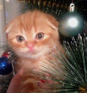 Шотландские котята (фолд и страйт)