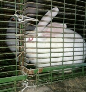 Крол и кролиха белые . цена за каждого