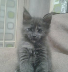 Котёнок мейнкуна