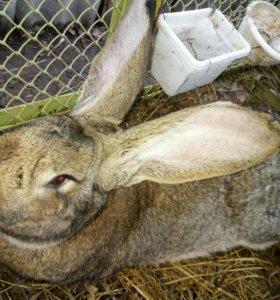 Крольчата от короля кроликов) Фландр