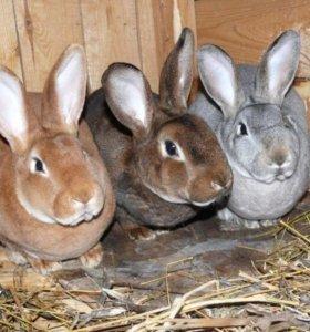 крольчата породы Рекс