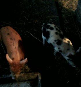 Свинина деревенска