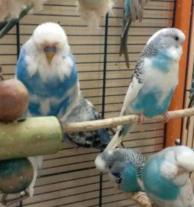 Выставочные вонистые попугаи Чехи