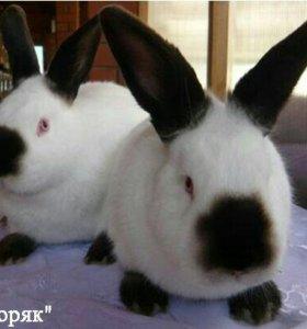 Кролики Калифорнийские!!!