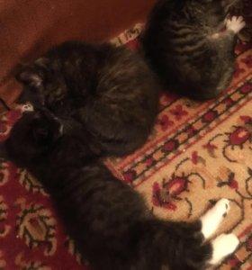 Котята от вислоухой кошки