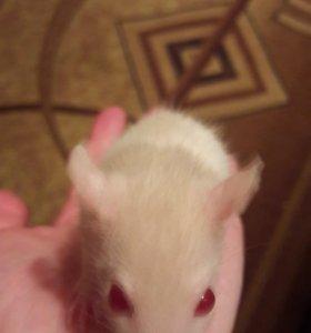 Крысята бесплатно