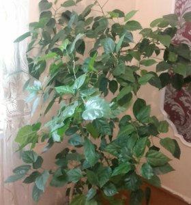Китайская роза и алоя цветы,цена договарная.