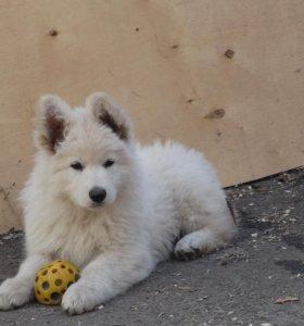 Продаются щенки белой швейцарской овчарки