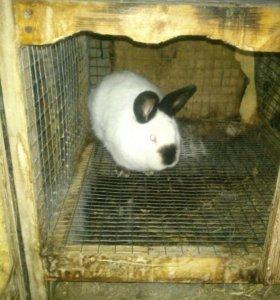 Кролики живыми и мясом