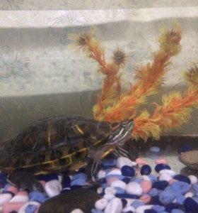 Отдам даром красноухая черепаха