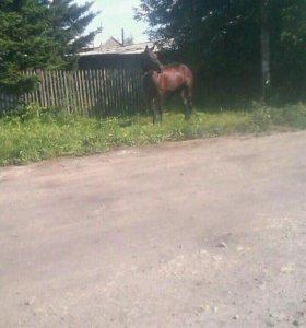 Конь американской породы ТОРГ!!!