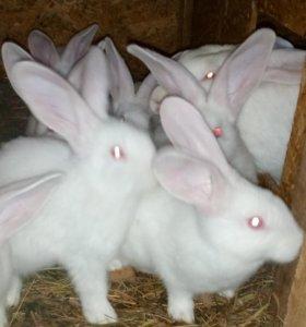 продам кроликов породы - Белый Великан