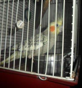 попугай карел