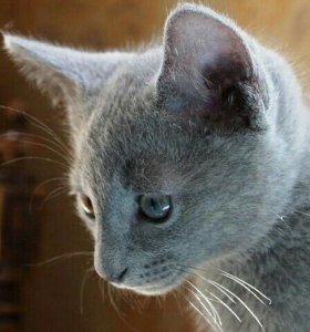 Элитные котята порода Русская Голубая