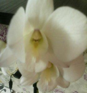 Орхидея дендрафалинопсис