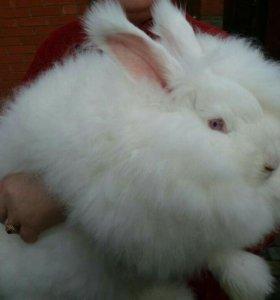 Пуховой Ангорский немецкий кролик