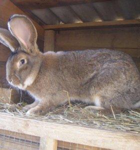 Продам кроликов и на племя