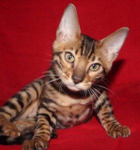 Бенгальский котёнок Mike