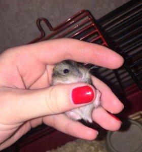 Джунгарские хомячки,родились в декабре