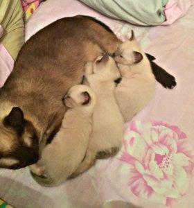 Чистокровный тайский котенок