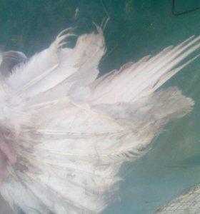 голуби лохманогие