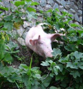 Поросят, хрячков ландрас+сибирская, 2-5 мес.,обмен