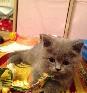 Плюшевые шотландские голубые котята с родословной