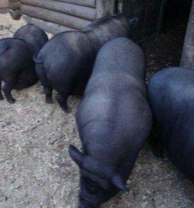 Вьетнамская веслобрюхая свиноматка