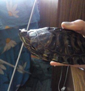 Красноухая черепаха с аквариумом и принадлежностям