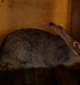 Кролики породы советская шиншила.