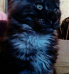 Подаётся котик Мейн-кун.