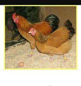 Инкубационное яйцо породных кур