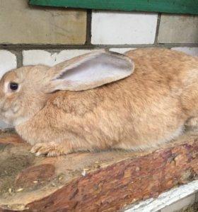 Кролики порода Великан