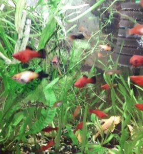 Меченосцы из моих аквариумов