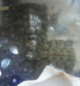 Черепахи декоративные