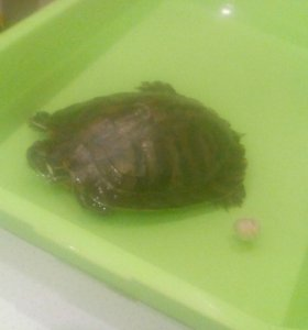 Отдам 2 красноухих черепах