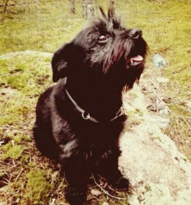 West highland black terrier ждет невесту.