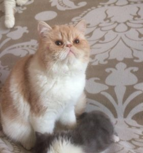 Кот для разведения,юниор