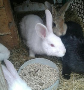 Продам кроликов шиншилов