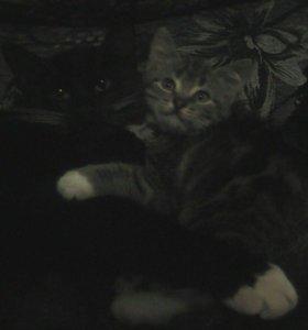 котенок помесь британки мраморная девочка