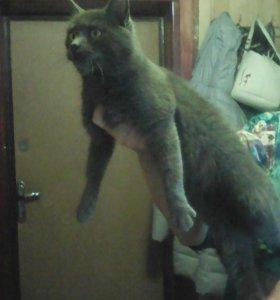 дымчатая молодая кошка