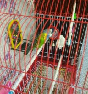 Птицы волнистые попугаи