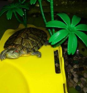 Черепахи пара.